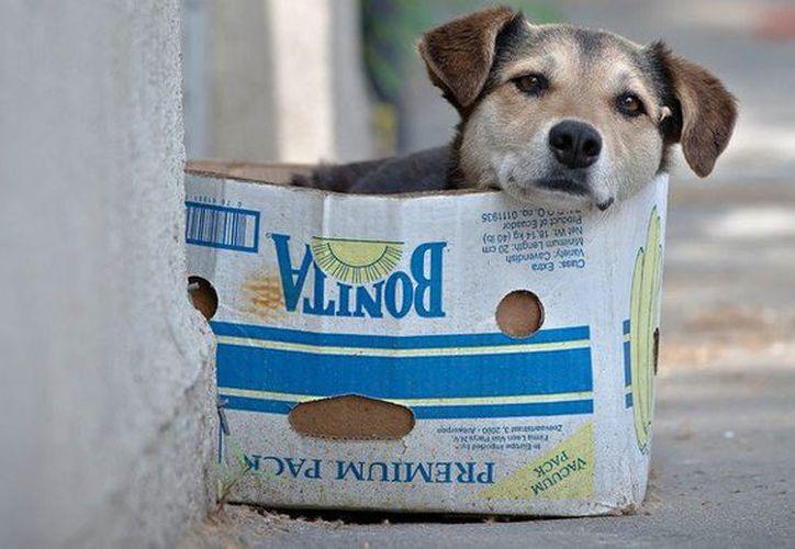 Piden un mayor número de esterilizaciones y vacunas para las mascotas de Mérida. (Milenio Novedades)