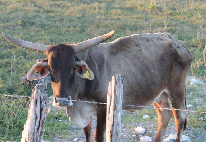 La policía municipal constantemente apoya en los reportes de ranchos donde se da el robo de ganado. (Carlos Castillo/SIPSE)