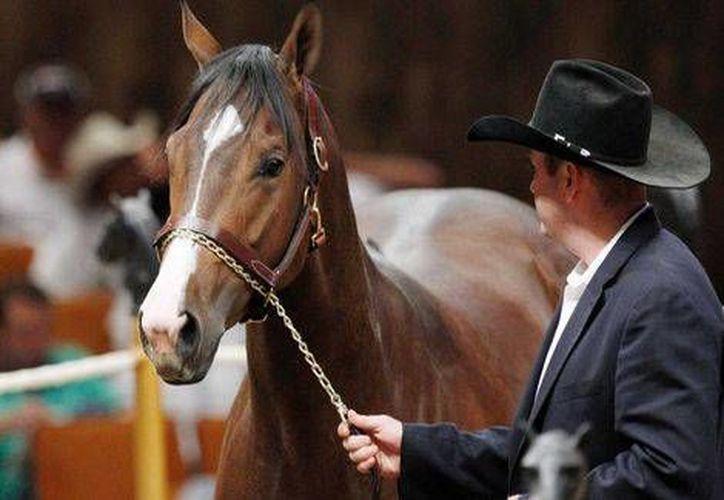 """Detrás de subastas de caballos de carreras el cártel de Los Zetas lavaban dinero en EU con ayuda de Francisco Colorado y de su hio Pachito, hoy deportado. En la foto la potra """"A Dash Of Sweet Heat"""", también decomisada a los Zetas. (Foto de archivo de AP)"""