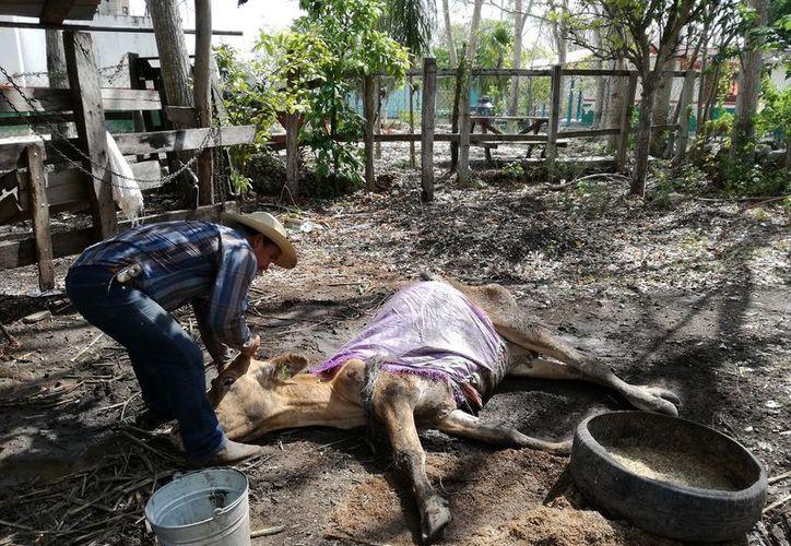 Advierten que los animales pueden comenzar a enfermar por la pérdida de masa corporal. (Javier Ortiz/SIPSE)