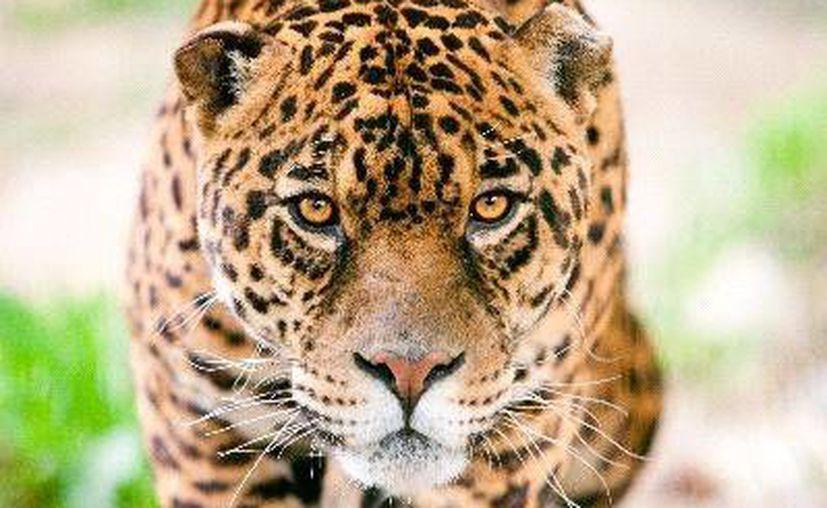 El jaguar, especie en peligro de extinción, enfrenta el desarrollo urbano en la selva que antes era su hogar.  (Foto de contexto/Internet)