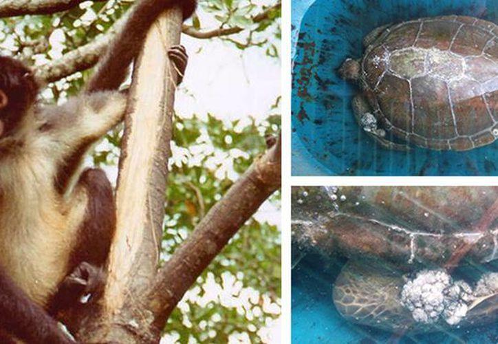 Profepa rescató un mono araña y una tortuga; el quelonio será atendido en Xcaret. (http://www.profepa.gob.mx/)