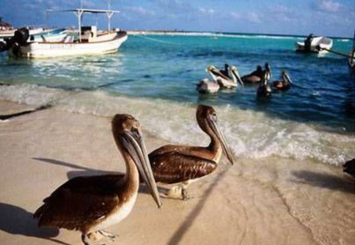 Esta especie forma parte del grupo más grande de aves registradas dentro del Parque Natural de Isla Contoy. (Foto de Contexto/SIPSE)