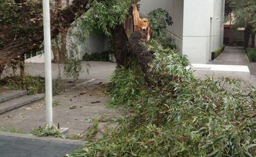 Los usuarios de Twitter han subido a la red social imágenes de los árboles.(twitter.com/GAGMartha)