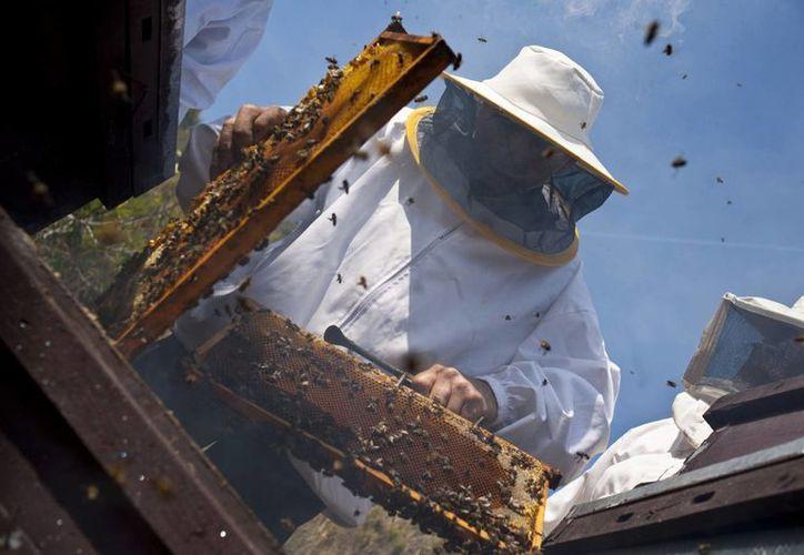 La temporada de captación de miel arranca en noviembre y termina en junio del siguiente año. (SIPSE)