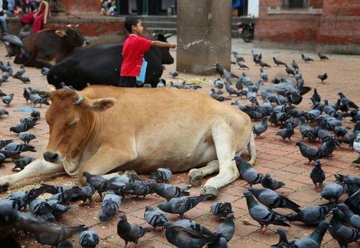 El enojo de los hindúes se debe a que para ellos la vaca es un animal sagrado. (elsiglo.com)