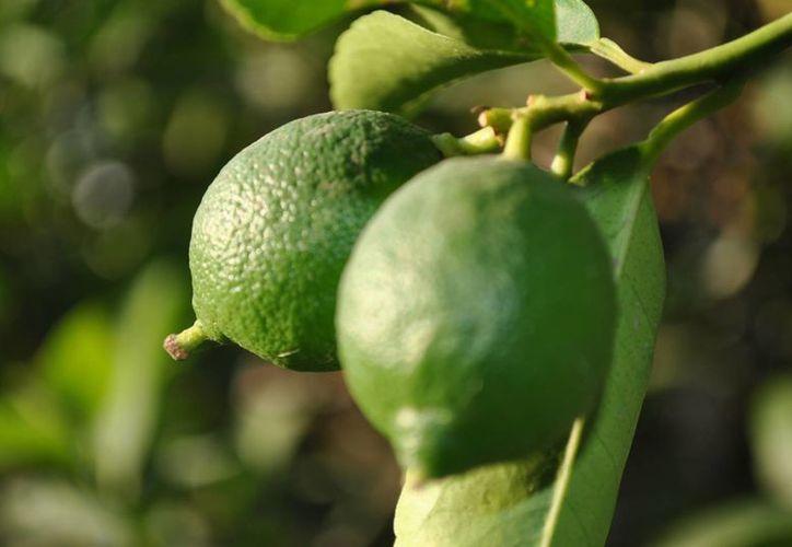 La producción de cítricos en Yucatán es una de las más importantes en la región. (SIPSE)