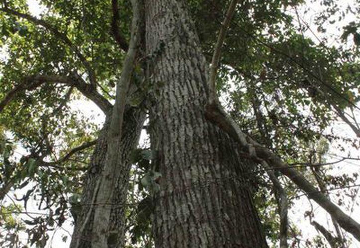 Disponen de cinco mil millones de pesos para reforestar a nivel nacional. (Redacción/SIPSE)