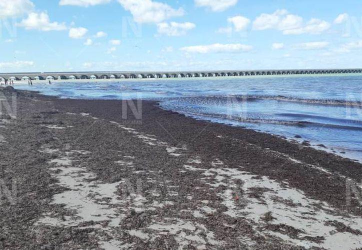 Toneladas de sargazo cubren el Malecón de Progreso - Sipse.com