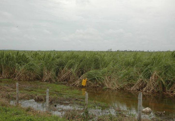 Varias hectáreas de caña no se podrán levantar dado que se encuentran atascadas de lodo. (Edgardo Rodríguez/SIPSE)