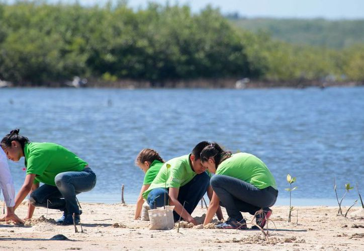 Este martes inició el proyecto de reforestación de mangle en Punta Sur, financiado por la Conafor. (Gustavo Villegas/SIPSE)