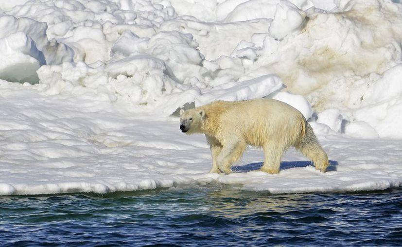 En imagen de archivo del 15 de junio de 2014 publicada por el Servicio Geológico de Estados Unidos, un oso polar sale a la superficie en el Mar de Chukotka, en Alaska. (AP)