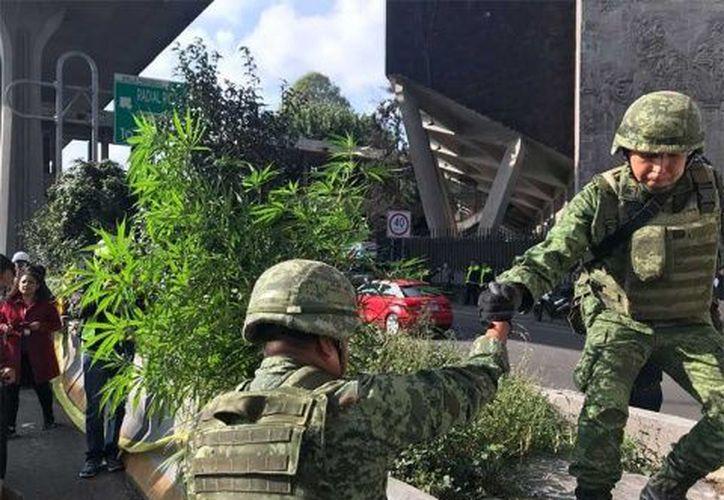 Las plantas de marihuana fueron detectadas a la atura de la Unidad Cuauhtémoc. (Excélsior)