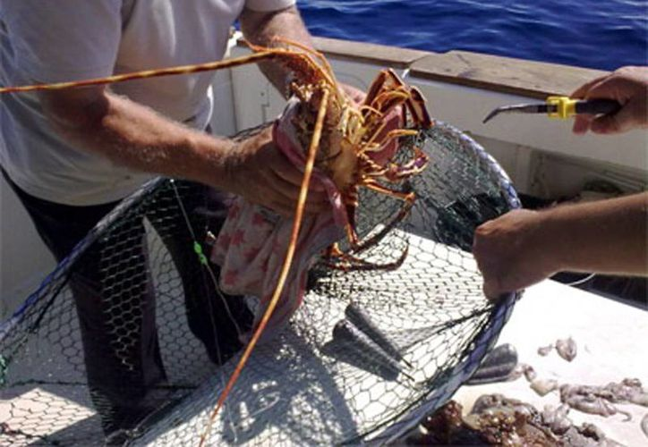 El Gobierno Federal modificó las reglas para la pesca de langosta en el Golfo de México y Mar Caribe. (Milenio Novedades)