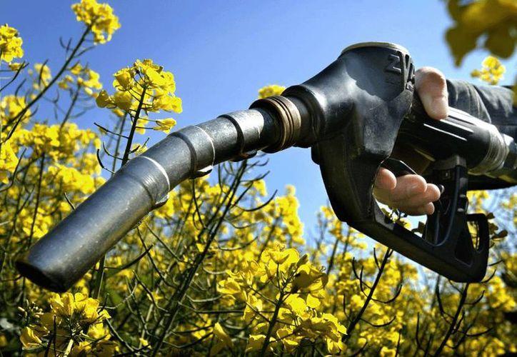 Actualmente el aceite para biodiesel proviene de cultivos oleaginosos, es decir, plantas como la soja, el girasol y la palma, pero también de otros como el maíz. (biodiesel.com.ar)