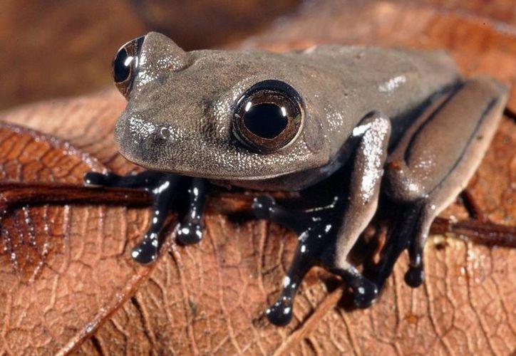 """Rana arbórea color marrón apodada """"rana cacao"""", descubierta en Surinam, que podría ser una nueva especie para la ciencia. (Agencias)"""