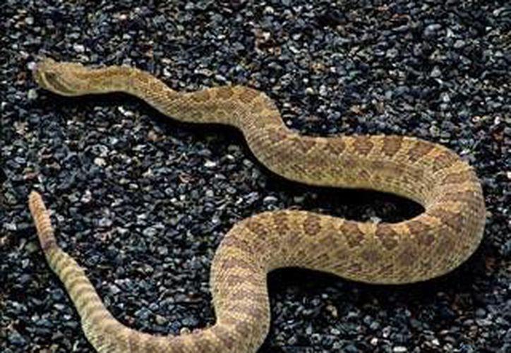 Las serpientes de cascabel salen en busca de agua. (Contexto/Internet)