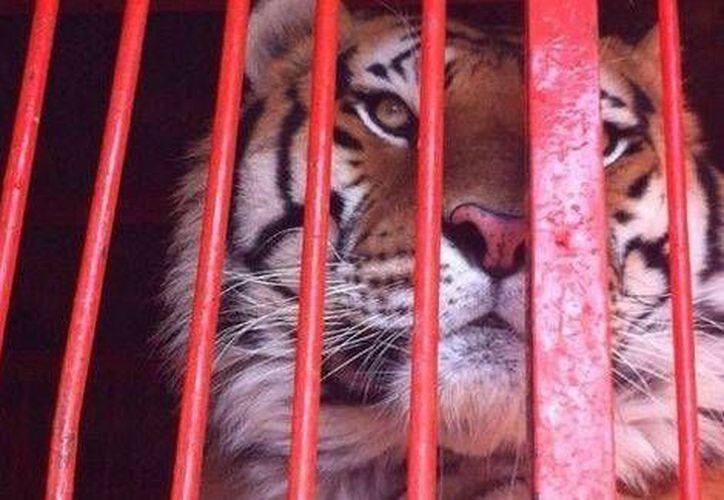 Los felinos quedaron bajo resguardo del Circo Kenya hasta que el Circo Chino de Pekín acredite su propiedad. (Milenio)