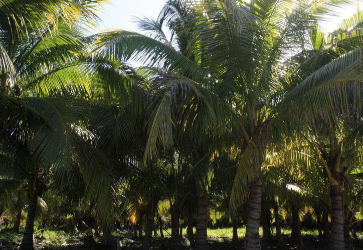 En Quintana Roo se plantan alrededor de 500 hectáreas de cultivos de palma de coco. (Harold Alcocer/SIPSE)