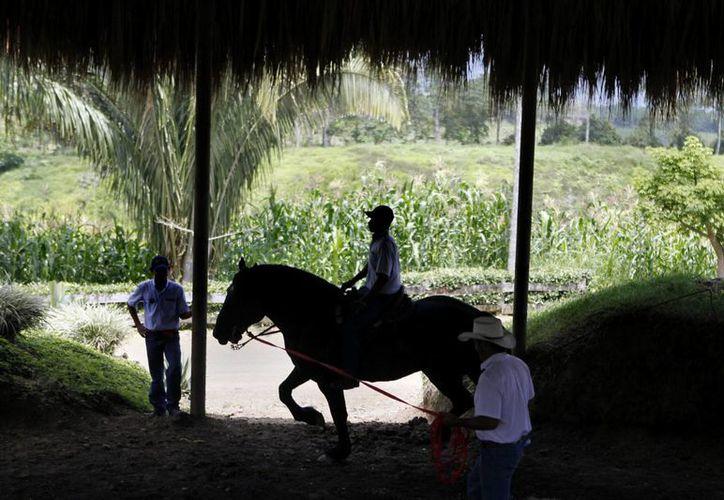 'Christian' (c), un hombre desmovilizado de las FARC durante una de sus labores con caballos en el Parque Nacional de la Cultura Agropecuaria, en Quimbaya, departamento del Quindío, Colombia. (EFE)