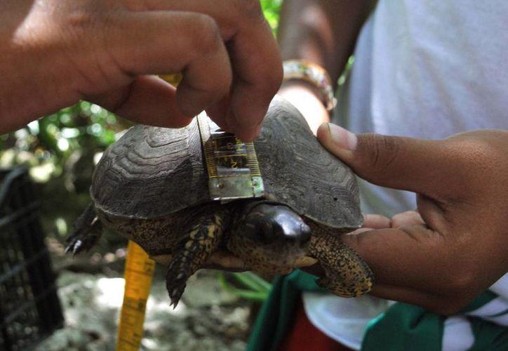 """Un grupo de 20 jóvenes censaron a las tortugas terrestres de """"El Cenote"""".  (Redacción/SIPSE)"""