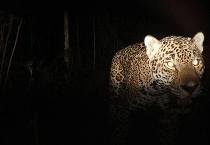 Las fototrampas captan los movimientos de especies de tamaños medianos y grandes. (Imagen ilustrativa/Internet)