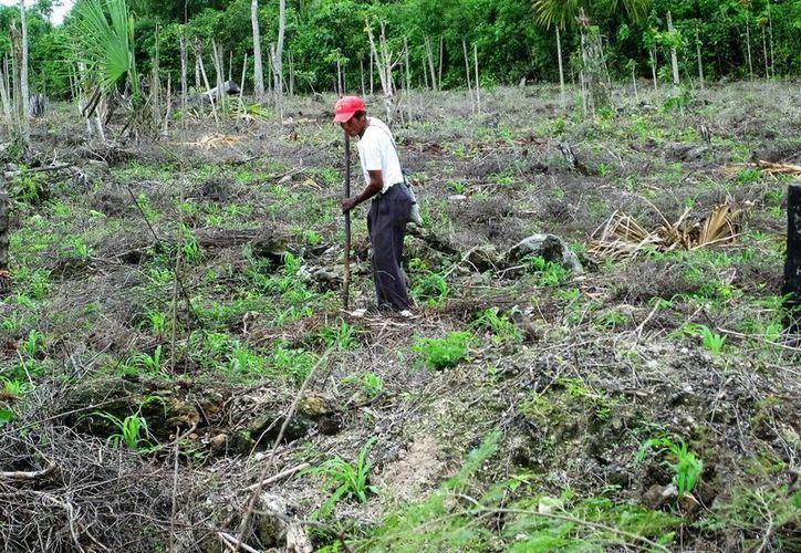 Los productores de Bacalar preparan sus tierras para realizar la siembra del maíz. (Javier Ortiz/SIPSE)