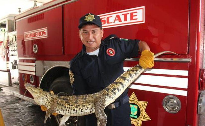 El cocodrilo fue capturado por bomberos de la SSP. (SIPSE)