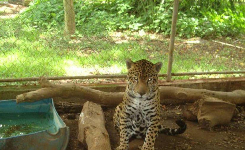 Imagen de uno de los felinos decomisados en Baca por la Profepa de Yucatán. (Milenio Novedades)