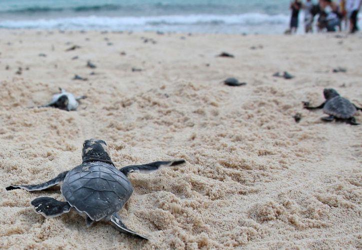 A la fecha, cuatro hembras han desovado en los arenales de Punta Brava, en Puerto Morelos. (Foto: Redacción Sipse)