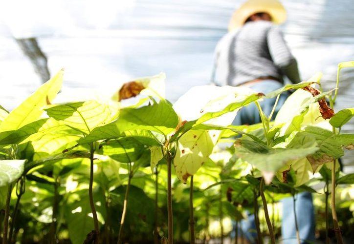 En la imagen la planta de Cacao. Quintana Roo espera sumarse a la producción de cacao con un proyecto inicial de 500 hectáreas. (Edgardo Rodríguez/SIPSE)