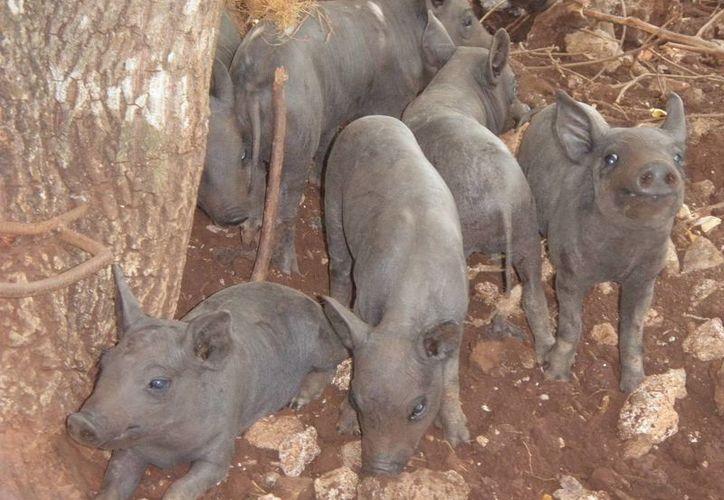 De acuerdo con la Fundación Produce, el cerdo pelón, además de ser barato, sobrevive entre yerbas, piedras y el lodo; no necesita antibióticos, por su alta resistencia a las enfermedades. (SIPSE)