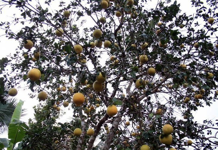 La naranja es el hábitat de los nematodos que pueden servir como una alternativa en el combate contra el dengue. (Milenio Novedades)