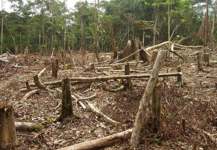 Los árboles usados para producir carbón fueron derrumbados por el huracán 'Dean' hace ocho años. (Javier Ortiz/SIPSE)