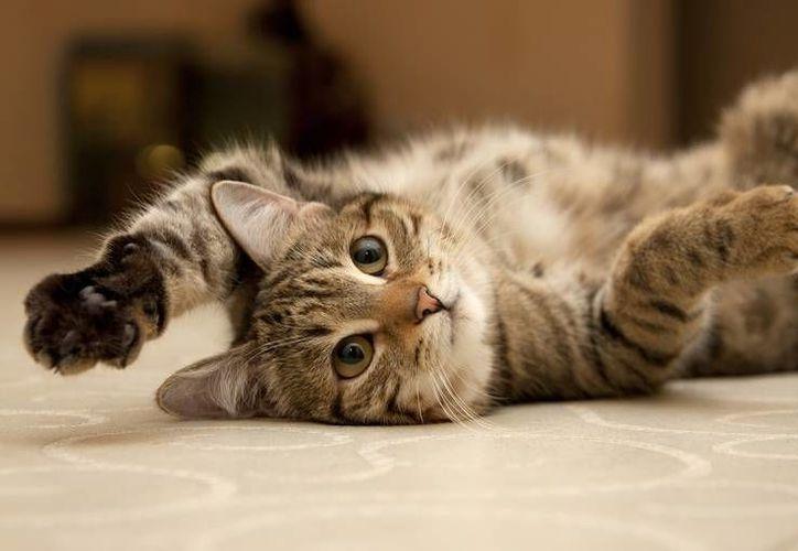 Si tu gato te araña, es importante desinfectar la zona afectada. (Foto: Contexto/Internet)