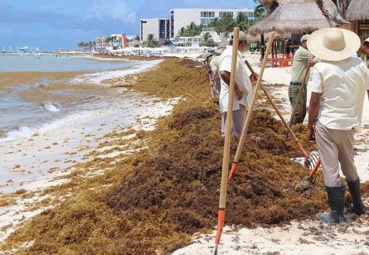 Recalan toneladas de sargazo en playas del Caribe Mexicano. (Foto: Adrian Barreto)