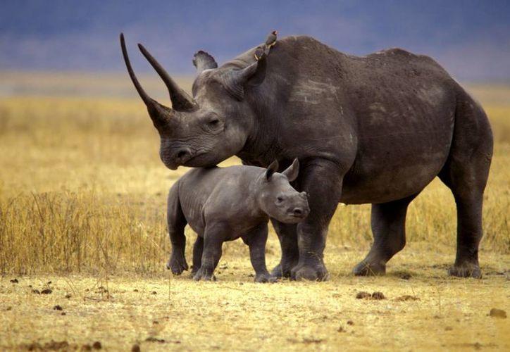 Además de intentar frenar la caza ilegal, también se busca reproducir ejemplares en criaderos de Europa. (share.america.gov)