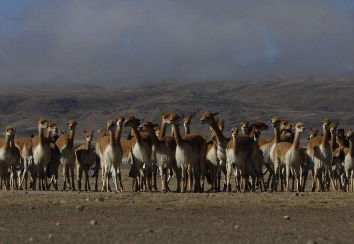 En Bolivia hay más de 115 mil vicuñas. (Agencias)