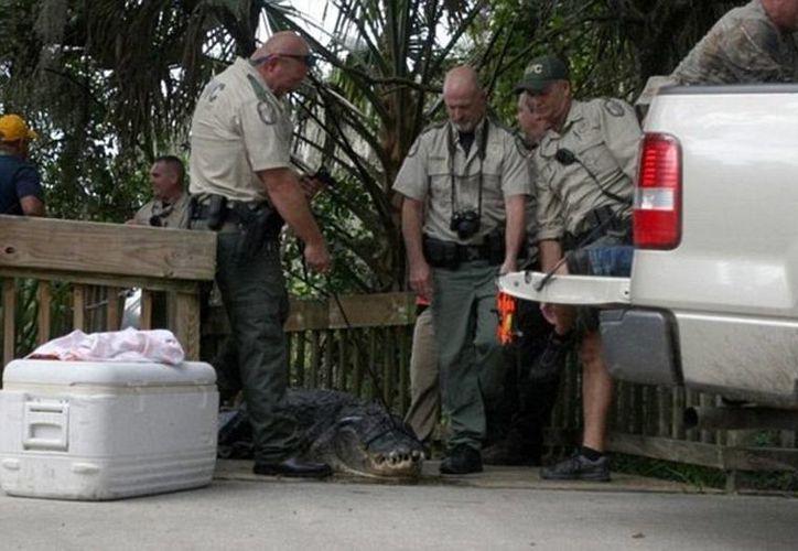 Funcionarios de la FWC  atraparon y mataron al caimán de 3.6 metros de largo. (The Daytona Beach News-Journal)
