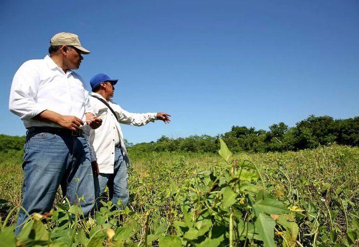 """El gobernador Rolando Zapata Bello supervisa en Yobaín y Sinanché los trabajos de fumigación contra el vector huanglongbing (HLB) o """"dragón amarillo"""". (Milenio Novedades)"""