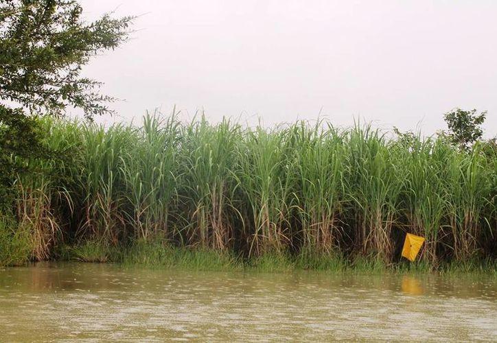 Las lluvias han generado que cerca de tres mil hectáreas, que se encontraban en riesgo de perderse puedan recuperarse para la próxima zafra. (Edgardo Rodríguez/SIPSE)