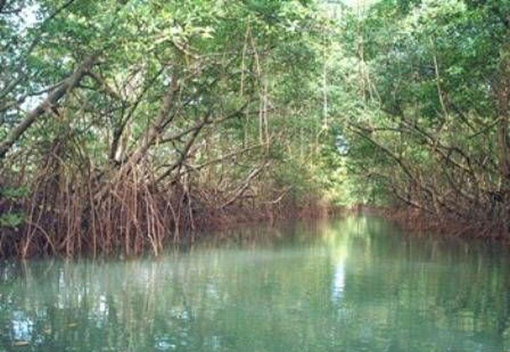 Las especies dañadas en la devastación del manglar fueron: botoncillo, rojo y palma chit. (Foto/Internet)