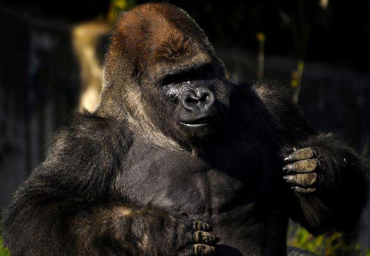 'Bantú' no era un gorila sano y sus padecimientos físicos contraindicaban la anestesia que los médicos del Zoológico de Chapultepec le suministraron, lo que provocó un problema cardiovascular. (Archivo/Notimex)