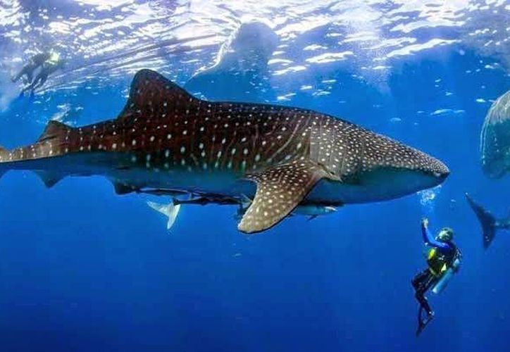 El alimento del tiburón ballena es el plancton, baja varios metros, por lo que el animal ya no nada en la superficie. (Redacción/SIPSE)