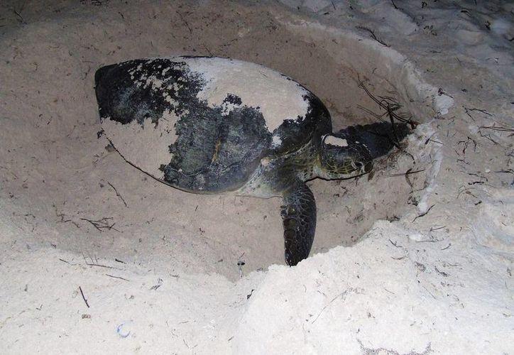 La tortuga marina debe sobrevivir a sus depredadores desde el momento en el que nace y hasta que desova.  (Rossy López/SIPSE)