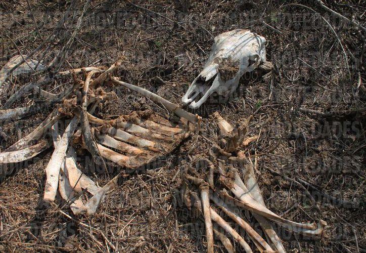 Tan solo en febrero reportaron la muerte de 300 cabezas de ganado por falta de agua y comida; agricultores sufrieron pérdidas más de 500 hectáreas en Chetumal. (Redacción/SIPSE)