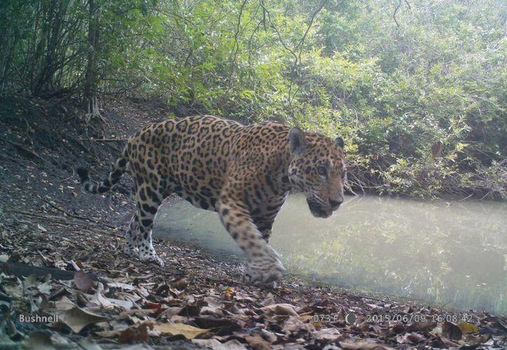 """Esta imagen fue tomada con una cámara escondida y activada remotamente, captura un jaguar en la reserva de """"El Huasteco"""". (Edgardo Rodríguez/SIPSE)"""