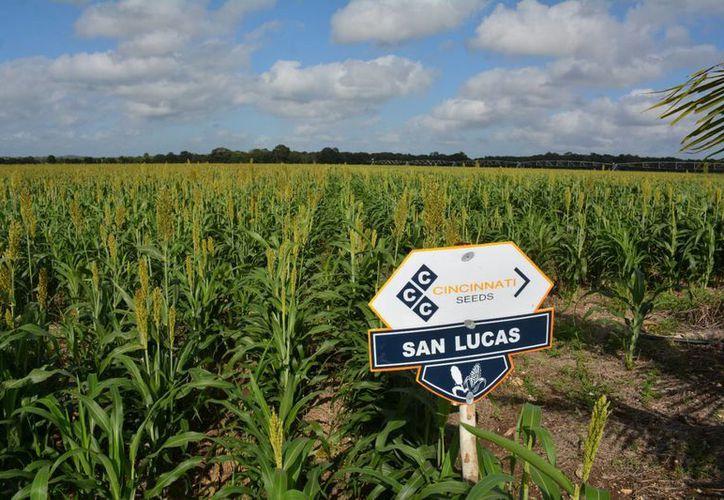 La empresas agroindustriales producen, industrializan y comercializan. (Eddy Bonilla/ SIPSE)