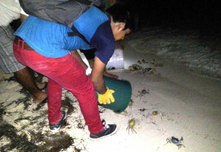 Los cangrejos son ayudados a llegar al mar, lugar donde depositan sus huevos. (Redacción/SIPSE)
