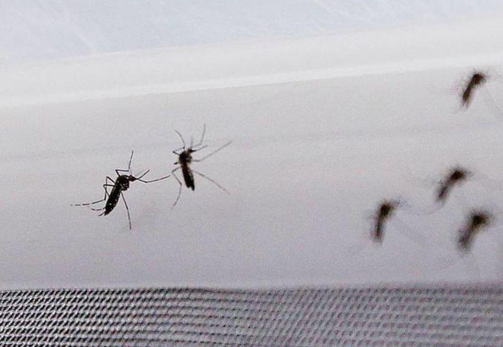 Fotografía de mosquitos Aedes aegypti, transmisores del virus del Zika. 8EFE/Archivo)